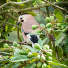 Eurasian Jay (middle east variety), Lotem