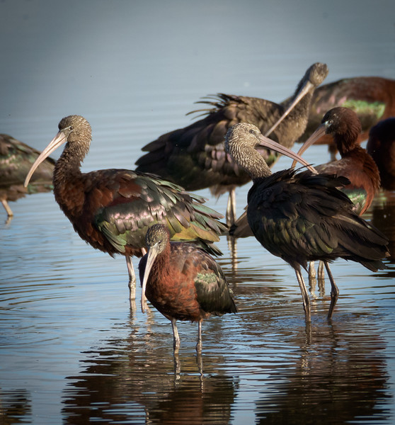 Glossy Ibis flock,Hula