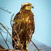 Marsh Harrier in tree, Hula