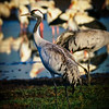 Common Crane, Hula