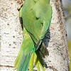 Rose-ringed Parakeet, HaGoshrim