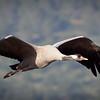 Crane flying, Hula