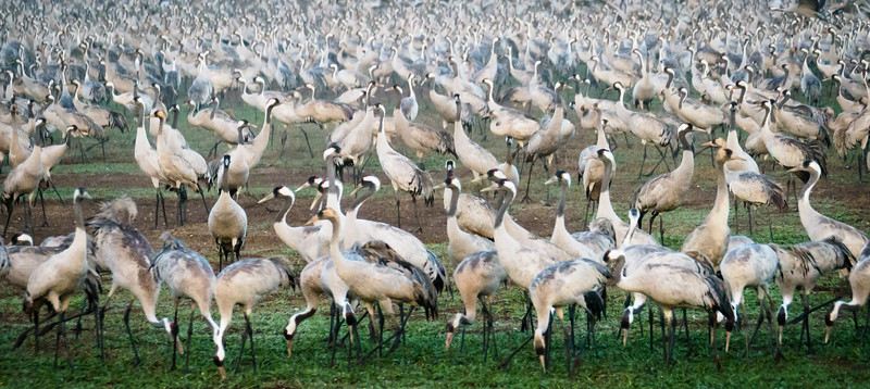 Common Cranes in Hula Valley