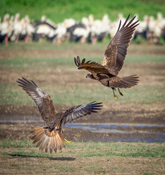 Harriers interacting, Hula