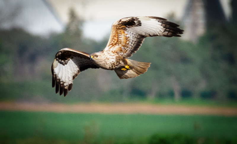 Marsh Harrier in flight,Hula