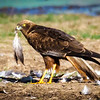 Marsh Harrier with crane feathers, Hula