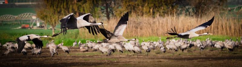 Cranes  in flight, Hula