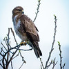 Common Buzzard, Hula
