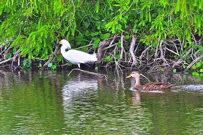 Snowy Egret and Mottled Duck