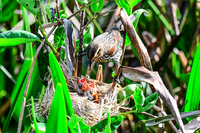 Red-winged Blackbird - female and babies