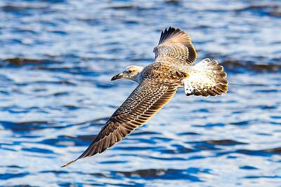 Herring Gull - 1st winter adult