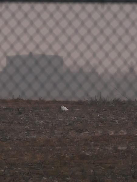 Snowy Owl @ Dunkirk Airport 1-5-15