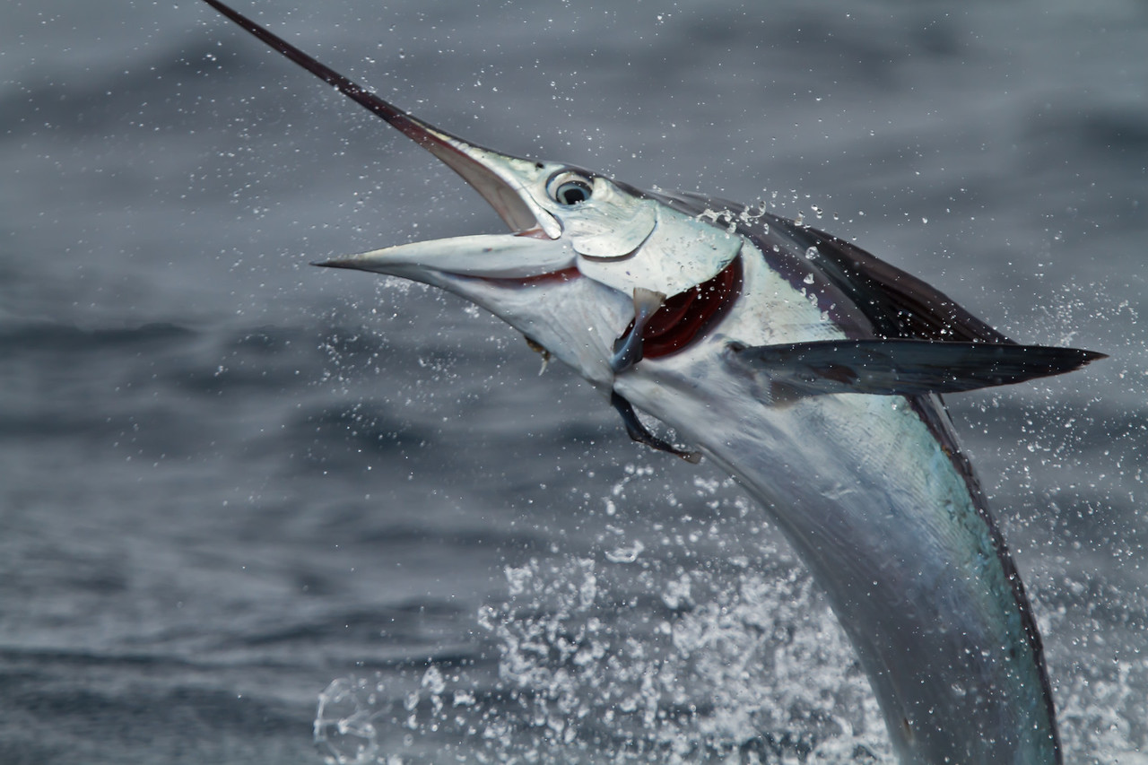 White Marlin at Oregon Inlet pelagic trip, NC (08-22-2010) - 500-Edit (08-22-2010)