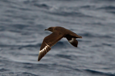 Probable Great Skua at Oregon Inlet pelagic trip, NC (08-22-2010) - 339 (08-22-2010)