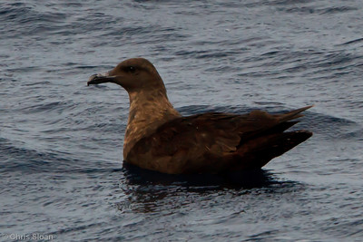 Probable Great Skua at Oregon Inlet pelagic trip, NC (08-22-2010) - 320 (08-22-2010)