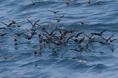 Wilson's Storm-Petrel at Gulf Stream pelagic off Hatteras, NC (06-04-2010) - 707-Edit