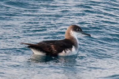 Manx Shearwater at Gulf Stream pelagic off Hatteras, NC (06-06-2010) - 824-Edit