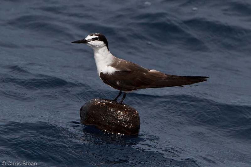 Bridled Tern at Oregon Inlet pelagic trip, NC (08-22-2010) - 380 (08-22-2010)