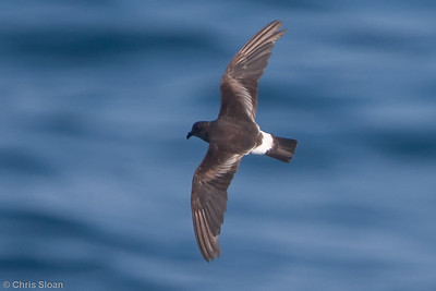 Band-rumped (Grant's) Storm-Petrel adult at Gulf Stream pelagic off Hatteras, NC (06-04-2010) - 639-Edit