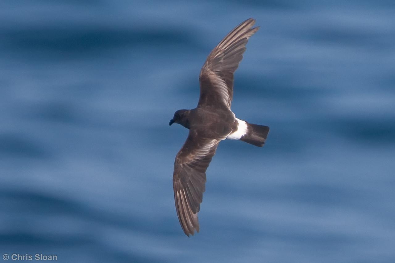 Band-rumped (Grant's) Storm-Petrel adult at Gulf Stream pelagic off Hatteras, NC (06-04-2010) - 639-Edit