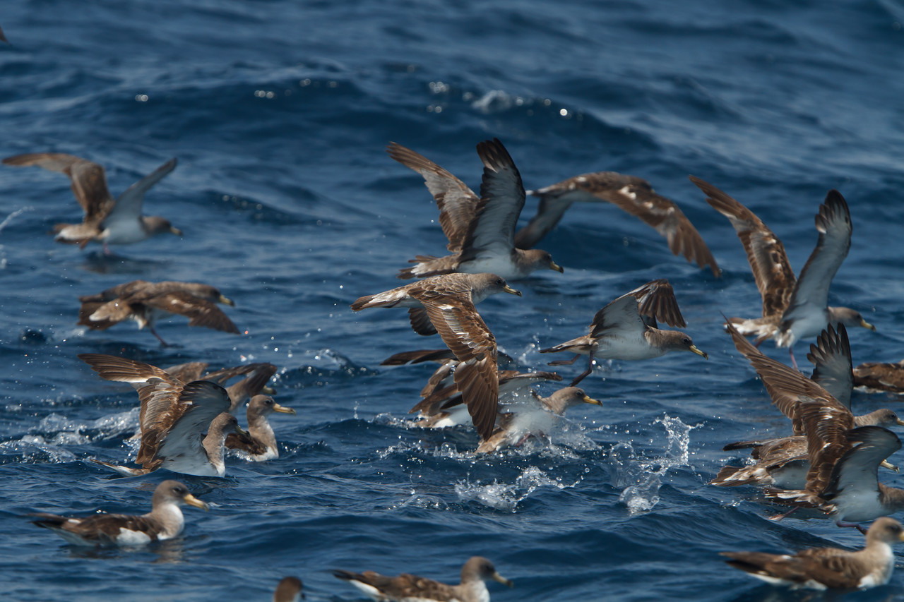 Cory's Shearwater borealis at Oregon Inlet pelagic trip, NC (08-21-2010) - 256 (08-21-2010)