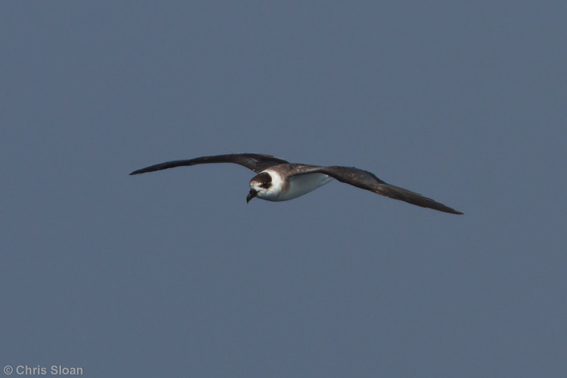 Black-capped Petrel at Oregon Inlet pelagic trip, NC (08-21-2010) - 135 (08-21-2010)