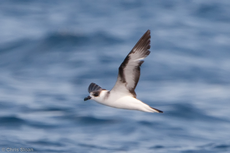 Black-capped Petrel at Gulf Stream pelagic off Hatteras, NC (06-05-2010) - 786-Edit