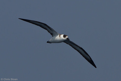 Black-capped Petrel at Oregon Inlet pelagic trip, NC (08-21-2010) - 157 (08-21-2010)