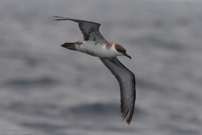 Greater Shearwater second year at Gulf Stream pelagic off Hatteras, NC (06-04-2010) - 735-Edit