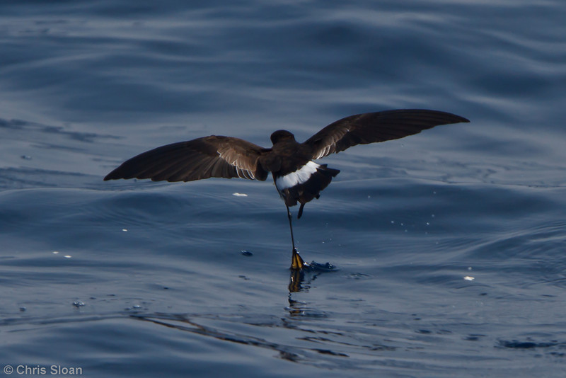 Wilson's Storm-Petrel at Oregon Inlet pelagic trip, NC (08-21-2010) - 125