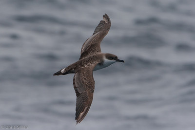 Greater Shearwater second year at Gulf Stream pelagic off Hatteras, NC (06-04-2010) - 736-Edit