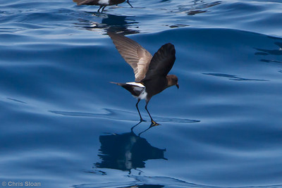 Wilson's Storm-Petrel at Oregon Inlet pelagic trip, NC (08-20-2010) - 984