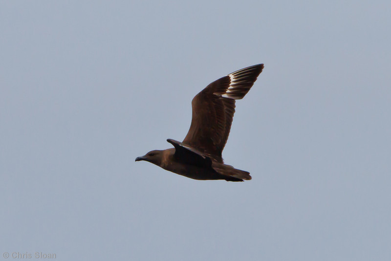 Probable Great Skua at Oregon Inlet pelagic trip, NC (08-22-2010) - 341 (08-22-2010)