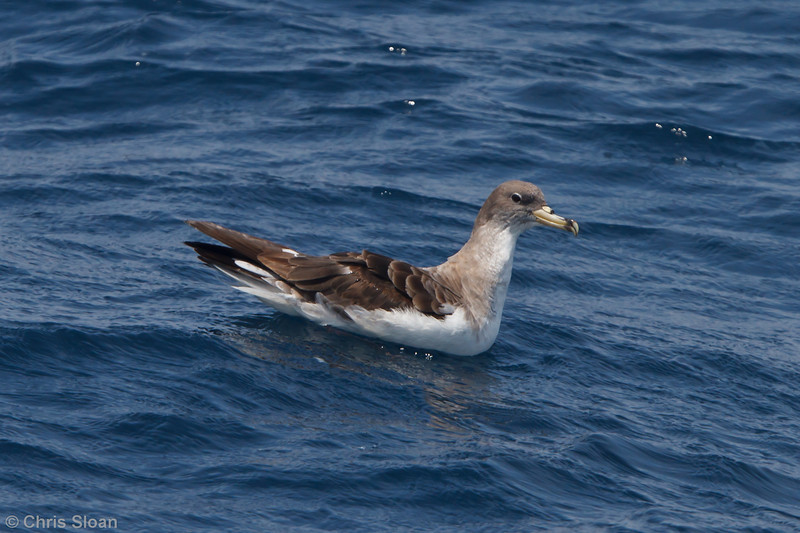 Cory's Shearwater borealis at Oregon Inlet pelagic trip, NC (08-21-2010) - 273 (08-21-2010)