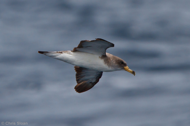 Cory's Shearwater borealis at Oregon Inlet pelagic trip, NC (08-22-2010) - 391 (08-22-2010)