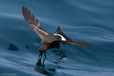 Wilson's Storm-Petrel at Gulf Stream pelagic off Hatteras, NC (06-04-2010) - 695-Edit