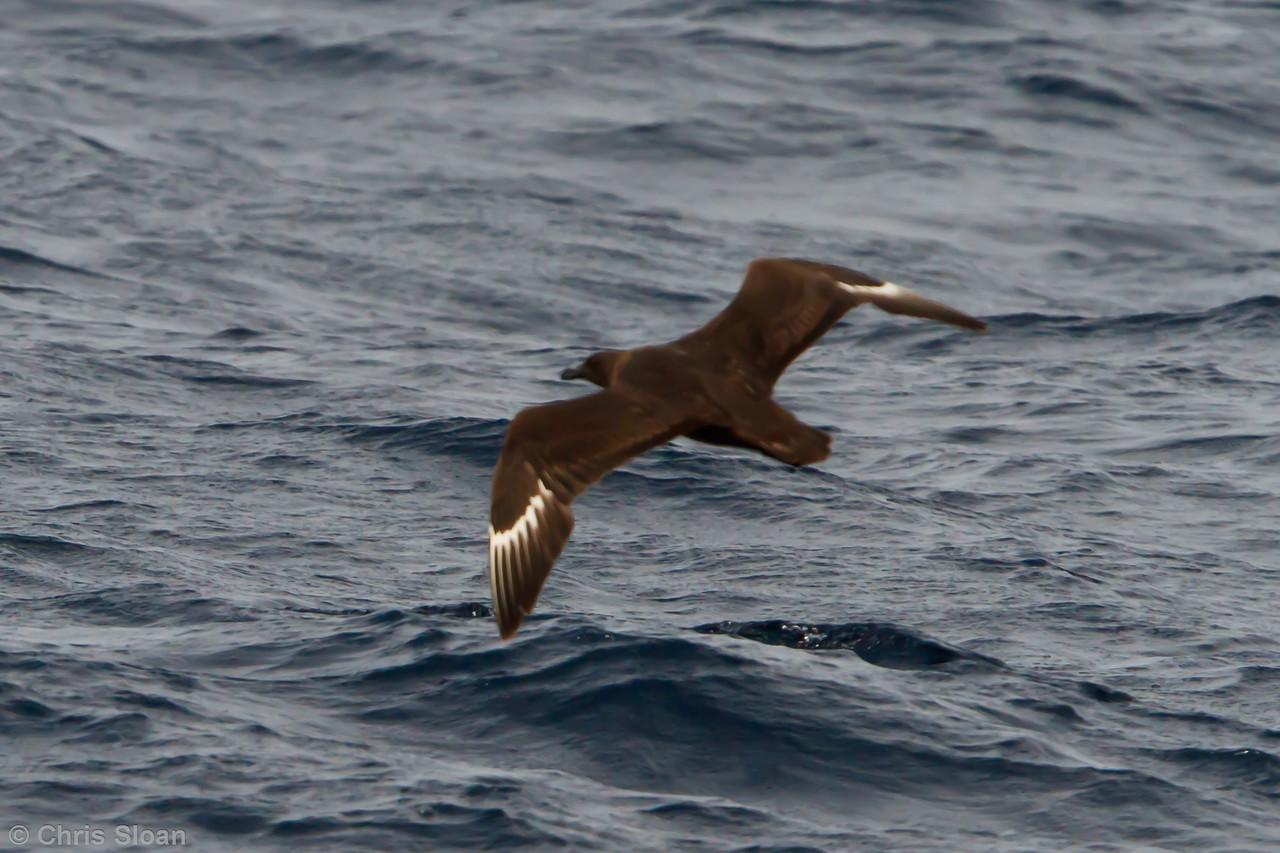 Probable Great Skua at Oregon Inlet pelagic trip, NC (08-22-2010) - 337 (08-22-2010)