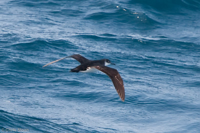 Manx Shearwater at Gulf Stream pelagic off Hatteras, NC (06-06-2010) - 826-Edit