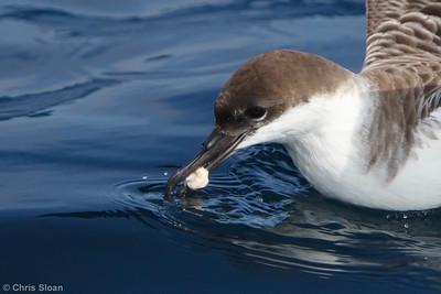 Greater Shearwater juvenile at Gulf Stream pelagic off Hatteras, NC (06-03-2010) - 021-Edit