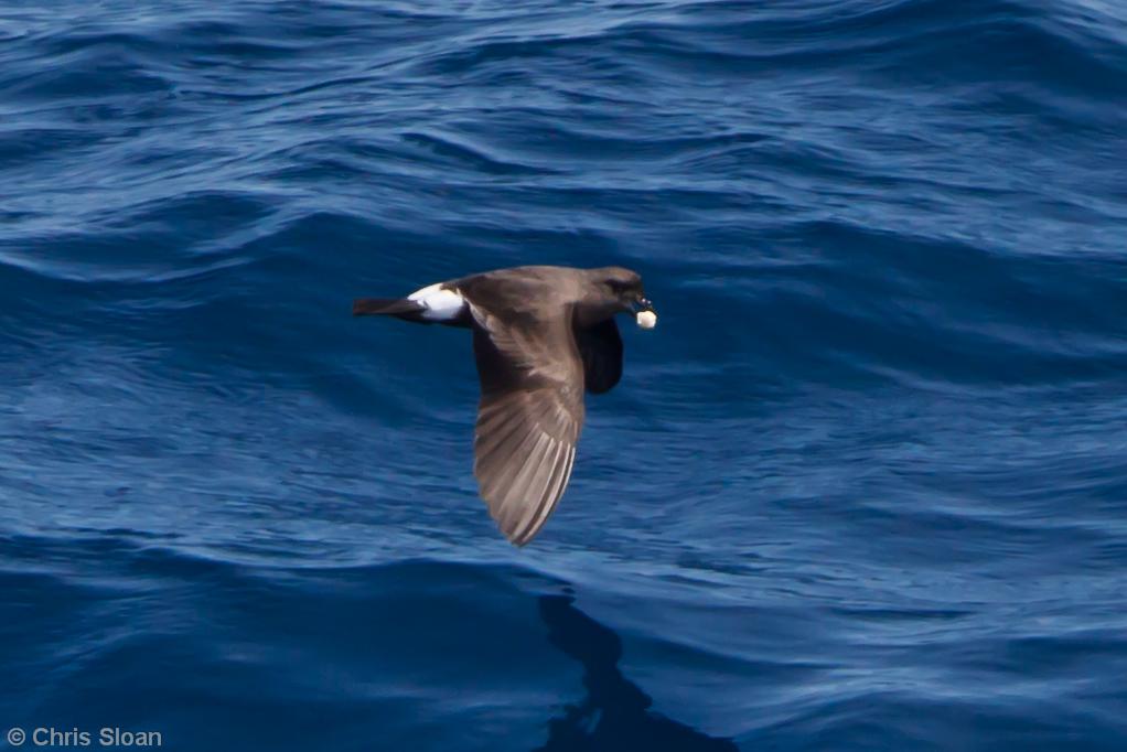 Band-rumped Storm-Petrel at Oregon Inlet pelagic trip, NC (08-20-2010) - 996 (08-20-2010)