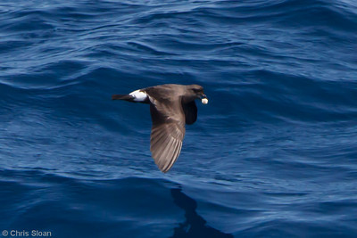 Band-rumped Storm-Petrel at Oregon Inlet pelagic trip, NC (08-20-2010) - 996 (08-20-2010)