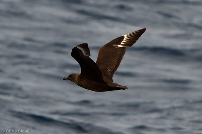 Probable Great Skua at Oregon Inlet pelagic trip, NC (08-22-2010) - 338 (08-22-2010)