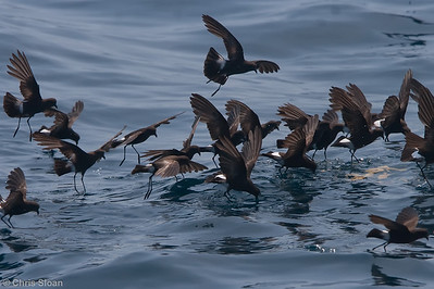 Wilson's Storm-Petrel at Gulf Stream pelagic off Hatteras, NC (06-04-2010) - 700-Edit