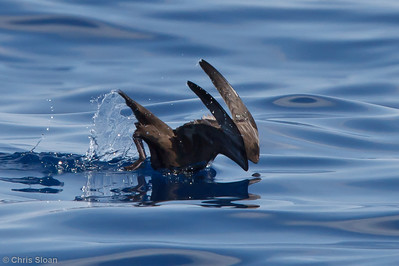 Sooty Shearwater at pelagic trip off Hatteras, NC (06-01-2011) - 027