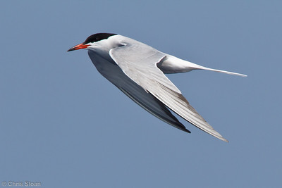 Common Tern at pelagic trip off Hatteras, NC (06-02-2011) - 474
