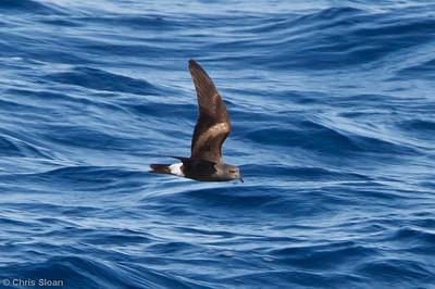 Leach's Storm-Petrel at pelagic trip off Hatteras, NC (06-04-2011) - 737