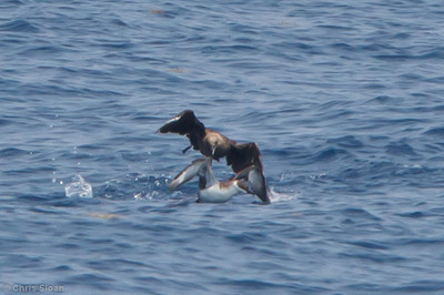 South Polar Skua attacking Great Shearwater at pelagic trip off Hatteras, NC (06-04-2011) - 085