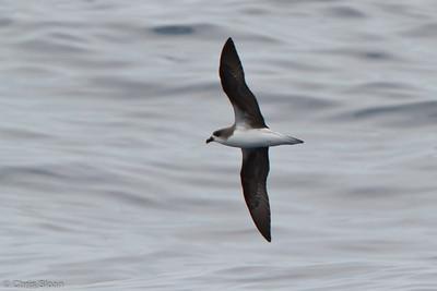 Fea's Petrel at pelagic trip off Hatteras, NC (06-05-2011) - 399