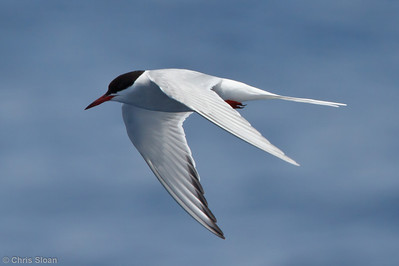 Arctic Tern at pelagic trip off Hatteras, NC (06-01-2011) - 185