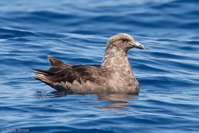 South Polar Skua at pelagic trip off Hatteras, NC (05-29-2011) - 422